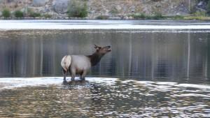 Female Elk calling to her partner
